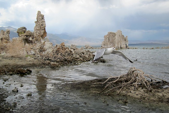 A seagull scans Mono Lake, California.