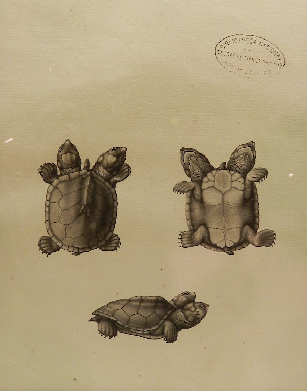 Drawing of a turtle by José Joaquim Codina or Joaquim José Freire made during Alexandre Rodrigues Ferreira's naturalist expedition to the Amazon.