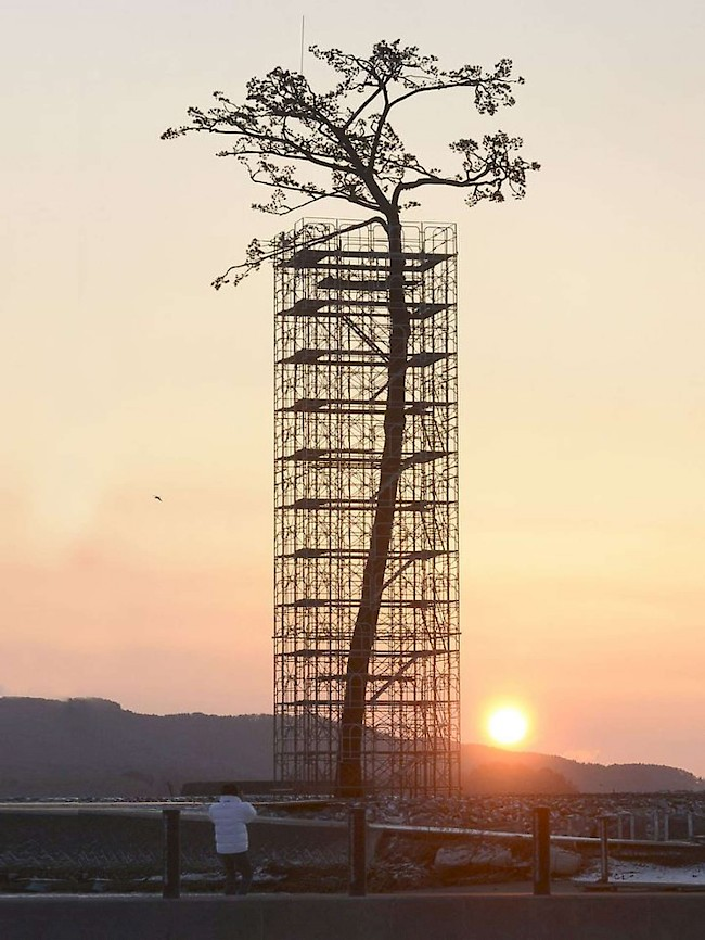 "The ""miracle pine,"" a 173-year-old survivor of the 2011 tsunami in Japan, died from excess saline and was then reborn as a monument in 2013. Photo: Associated Press."